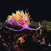 Nudibranch Brightly Colored Arctic Ocean Art Print