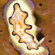 Nudibranch On Orange Sponge, Kimbe Bay Art Print