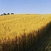 Oat Crops On A Landscape, County Dawn Art Print