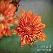 October Mums Art Print by Darren Fisher