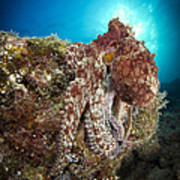Octopus Posing On Reef, La Paz, Mexico Art Print