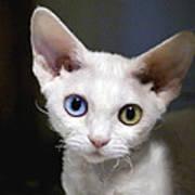 Odd-eyed Kitten Art Print
