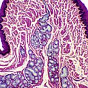 Oesophagus Wall, Light Micrograph Art Print