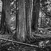 Old Growth Cedar Trees - Montana Art Print