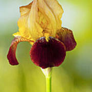 Old Time Two Toned Burgundy And Gold Iris Art Print
