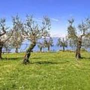 olive grove on Lake Gardan Art Print