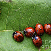 One Lady Bug Voted Off The Island Art Print