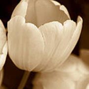 Opening Tulip Flower Sepia Monochrome Art Print