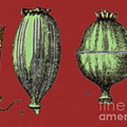 Opium Harvesting Art Print