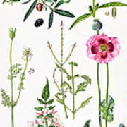 Opium Poppy And Other Plants  Art Print by  Elizabeth Rice