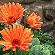 Orange Gerber Daisy Art Print