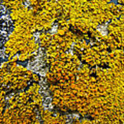 Orange Lichen - Xanthoria Parietina Art Print