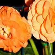 Orange Tuberous Begonias Art Print