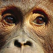 Orangutan Eyes Borneo Art Print