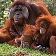 Orangutan Mother And Baby Art Print