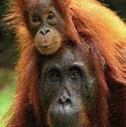 Orangutan Pongo Pygmaeus Female Art Print