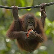 Orangutan Pongo Pygmaeus Young Eating Art Print