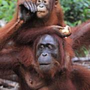 Orangutans Art Print