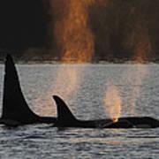Orca Orcinus Orca Resident Pod Art Print