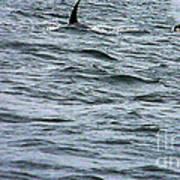 Orca Whales Art Print