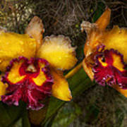 Orchid - Cattleya - Dripping With Passion  Art Print