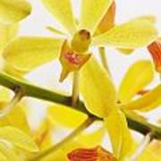 Orchid Print by Atiketta Sangasaeng