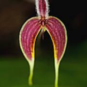 Orchid Bulbophyllum Blumei Flower Art Print