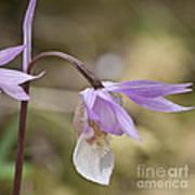 Orchid Calypso Bulbosa - 1 Art Print