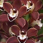 Orchid (cymbidium Sp.) Art Print