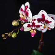 Orchid Flowers Against Black Background Art Print