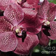 Orchid Vanda And Ascocenda Hybrid II Art Print