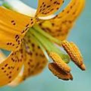 Oregon, United States Of America A Lily Art Print