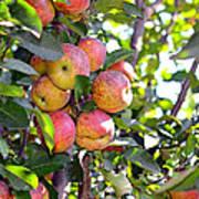 Organic Apples In A Tree Art Print