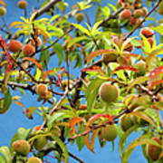Organic Peach Tree, Art Print by Pete Starman