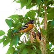 Oriole And Babies Art Print