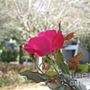 Orlando Rose Art Print