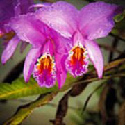 Orquideas Flor De Mayo Del Bosque Nublado Art Print