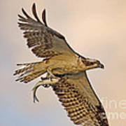 Osprey Catches Big Fish Art Print