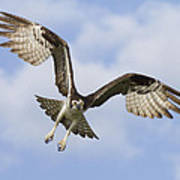 Osprey In Flight One Art Print