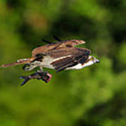 Osprey Inflight At Blue Cypress Lake Art Print