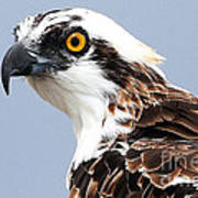 Osprey Profile Art Print