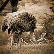 Ostrich Art Print by Arne Hansen
