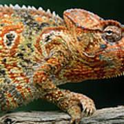 Oustalets Chameleon Furcifer Oustaleti Art Print