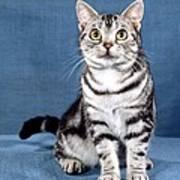 Outstanding American Shorthair Cat Art Print