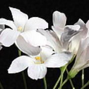 Oxalis Flowers 2 Art Print