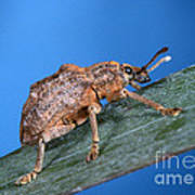 Oxyops Vitiosa Leaf Weevil On Melaleuca Art Print