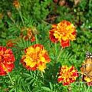 Painted Lady Butterfly In The Marigolds  Art Print