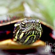 Painted Turtle Art Print