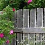 Painterly Fence And Roses Art Print