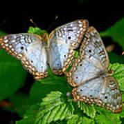 Pair Of Butterflies Art Print